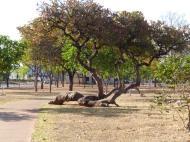"""Les grandes avenues sont toutes pourvues d'arbres, souvent fruitiers, pour la plus grande joie des """"Brasiliense"""" (habitants de Brasilia)"""
